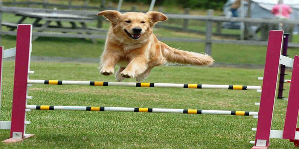 Dog Athletic Performance